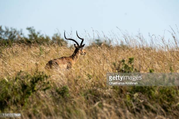 a male impala running away after seeing a leopard approaching inside masai mara national reserve during a wildlife safari - running deer shooting stock pictures, royalty-free photos & images