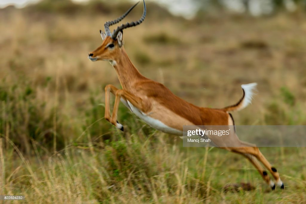 male impala running : Stock Photo