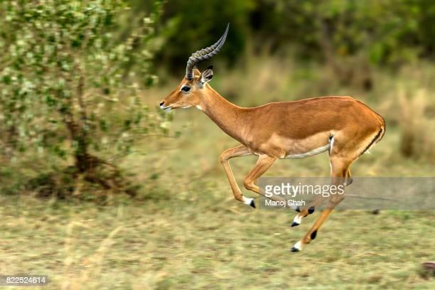 male impala running - 動物の雄 ストックフォトと画像