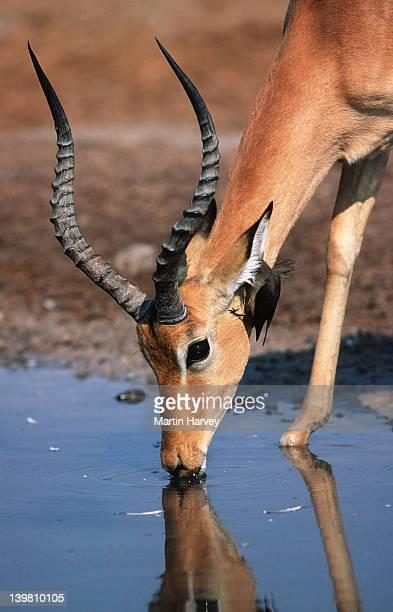 Male impala with oxpecker, Aepyceros melampus, drinking at waterhole, Chobe National Park, Botswana, Southern & Eastern Africa.
