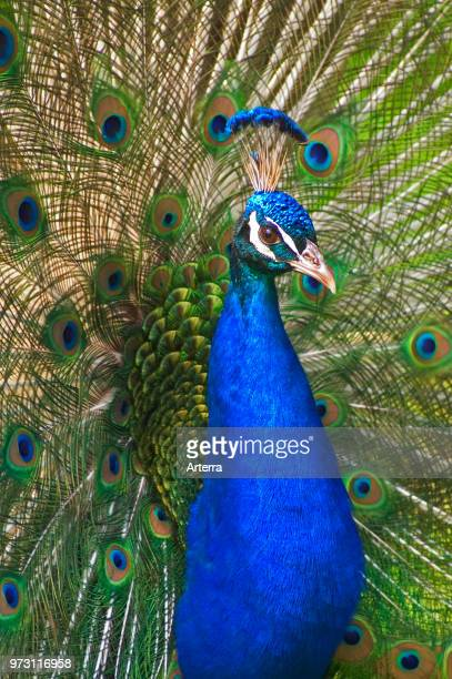 Male Indian peafowl / Peacock displaying elongated upper tail coverts