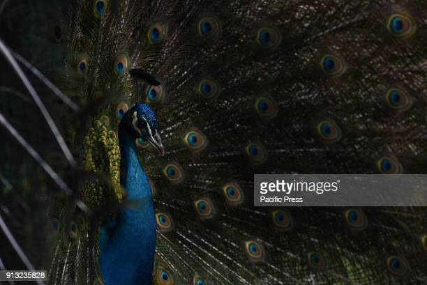 A male Indian peafowl pictured displaying his feathers to court a female at Madrid zoo where temperatures reached up to 12ºC degrees during the...