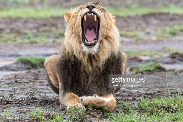 170 Lion Lying Down Photos And Premium High Res Pictures Getty Images Sea lion on a california beach. https www gettyimages com photos lion lying down