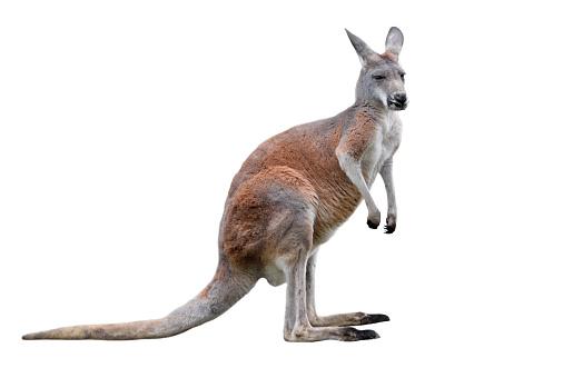 Male kangaroo isolated on white background. Big kangaroo full lengths. 1145651608