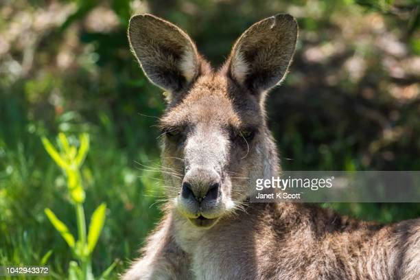 male kangaroo - male animal stock pictures, royalty-free photos & images