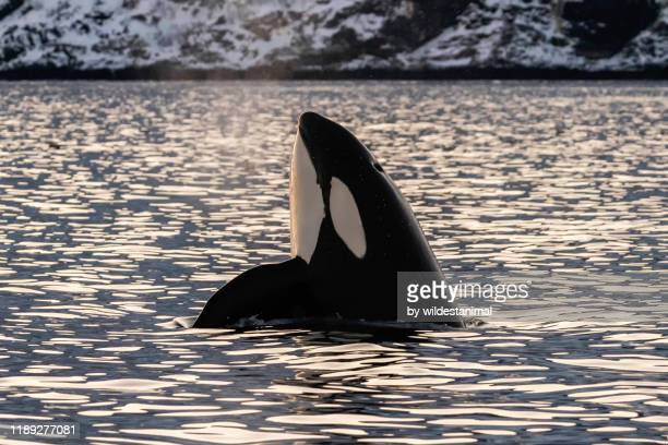 male killer whale spyhopping in the early morning light, kvaenangen fjord area, northern norway. - killer whale stock pictures, royalty-free photos & images