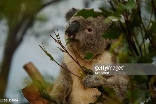 Male koala Alfie eats leaves on July 08, 2020 in Sydney, Australia. Koala joeys Ilani and Jasper are the newest additions at WILD LIFE Sydney Zoo and...