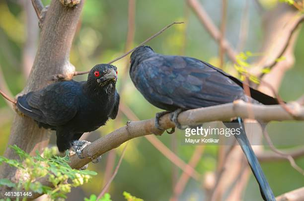 male koel bird been cornered - male animal stock photos and pictures