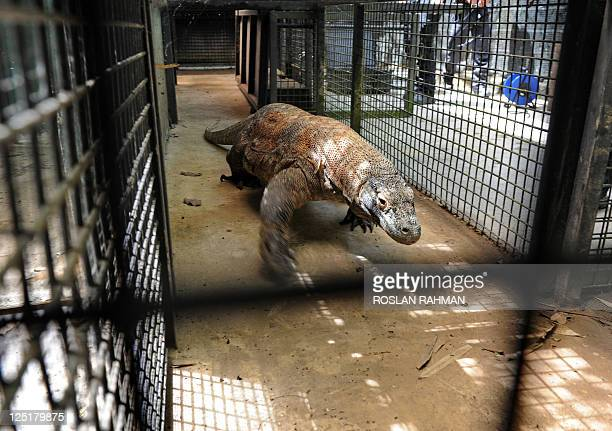 A male Komodo dragon Bima crawls through a cage at the Singapore's Zoological garden on September 16 2011 Bima will be introduced to Yoko a female...