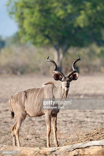 A male Kudu aware of the camera.
