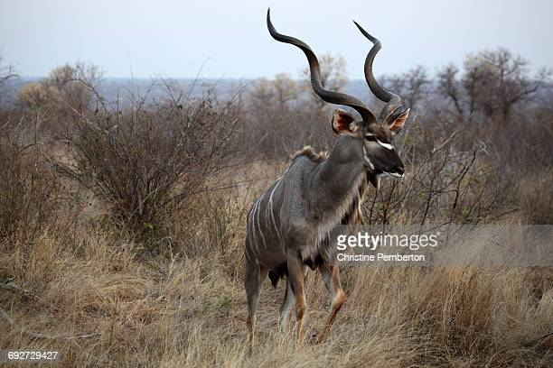 Male kudu, Kruger Park, South Africa