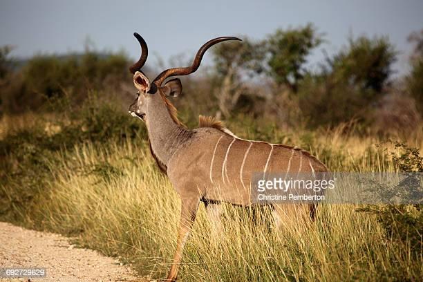 Male kudu, Madikwe, South Africa