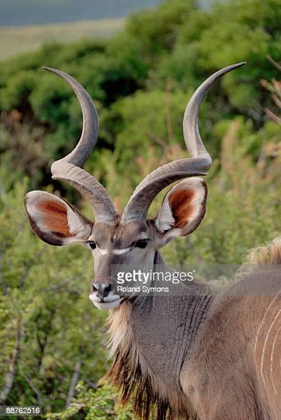 Male kudu (Tragelaphus strepsiceros), South Africa