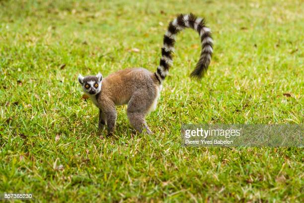 male lemur catta - lemur stock pictures, royalty-free photos & images