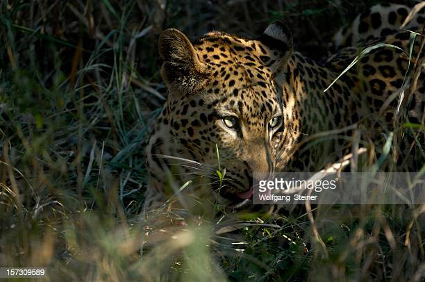 male leopard eating a bat-eared fox in the darkness - dark panthera stock pictures, royalty-free photos & images