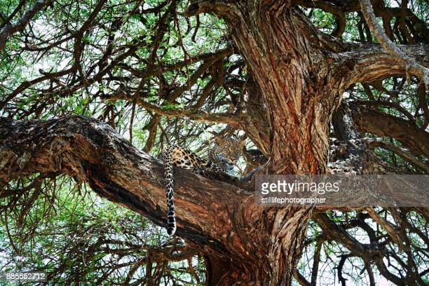 Male leopard in sausage tree looking off in the distance in Tarangire National Park, Tanzania