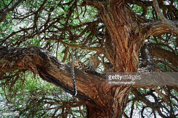 Male leopard in sausage tree looking toward the ground in Tarangire National Park, Tanzania