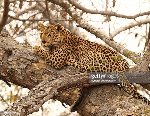 Male leopard in tree,   Kruger National Park