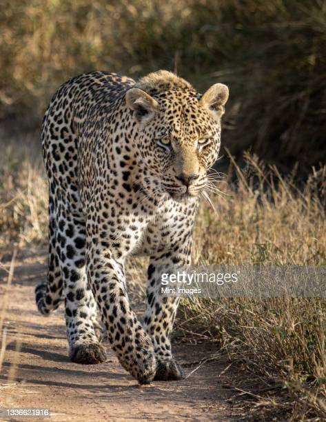 a male leopard, panthera pardus, walks along a sand path, looking out of frame - south africa stock pictures, royalty-free photos & images