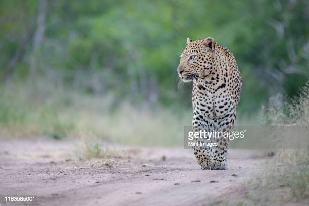 a male leopard, panthera pardus, walks down a sand path, front paw raised, looking out of frame, green background. - out of frame stock pictures, royalty-free photos & images