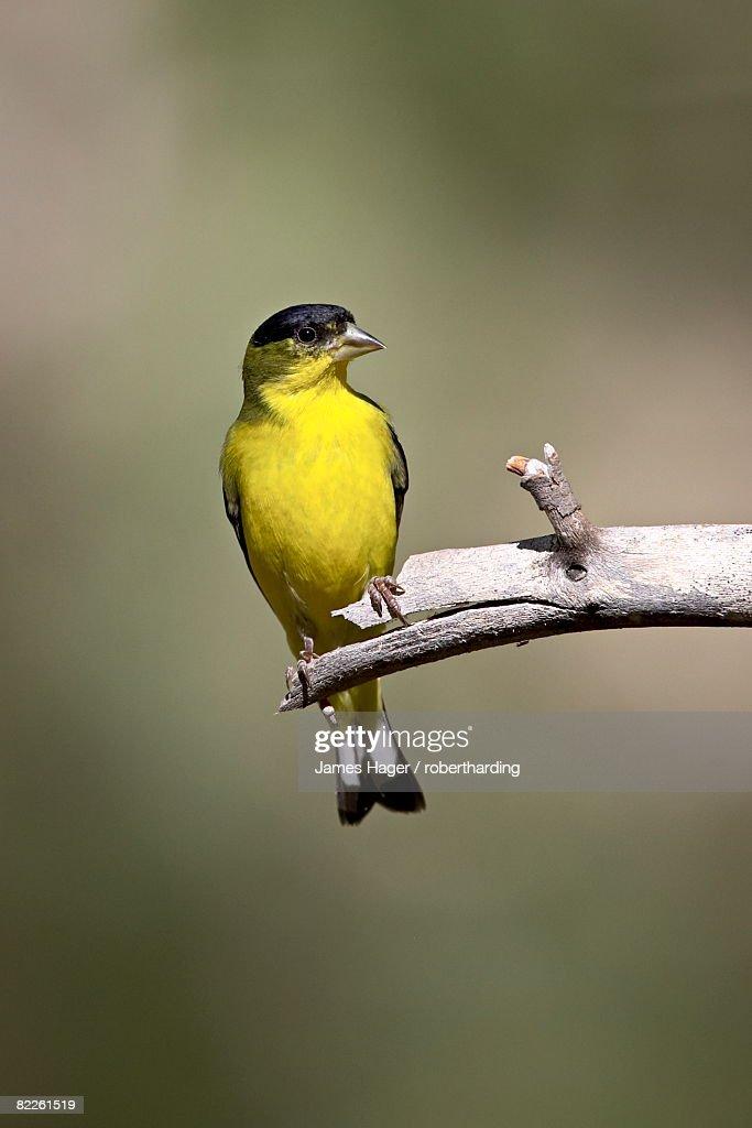 Male lesser goldfinch (Carduelis psaltria), Chiricahua National Monument, Arizona, United States of America, North America : Stock Photo