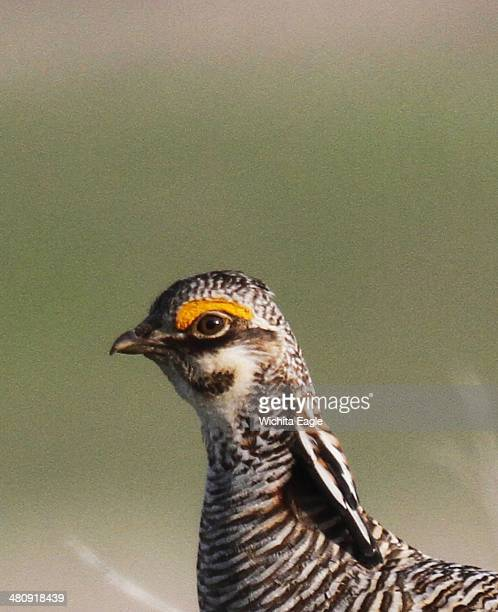 A male lesser prairie chicken is seen in Edwards County Kan April 18 2012 The federal government designates the lesser prairiechicken as threatened...