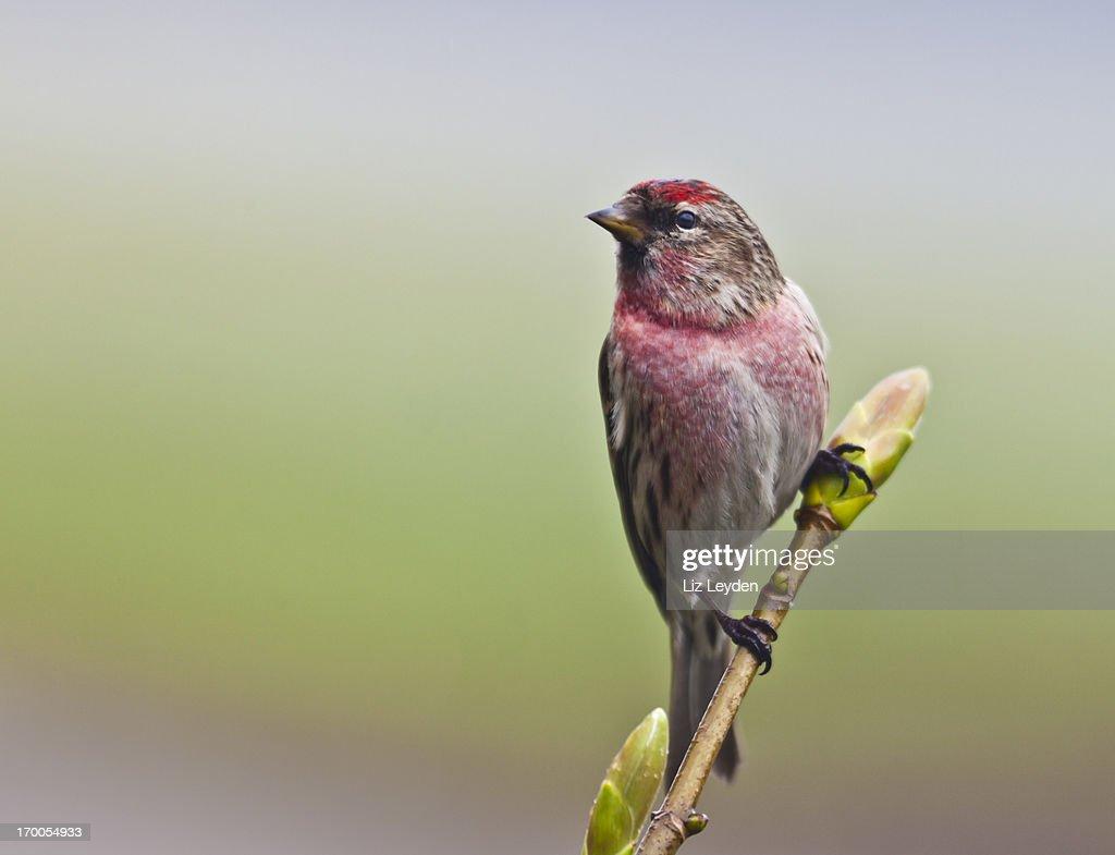 Male Lesser Redpoll (Carduelis cabaret) on twig : Stock Photo