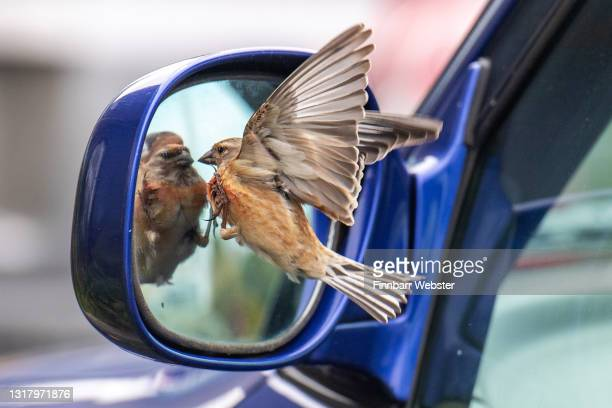 Male Linnet bird tackles what it thinks is a rival bird in a car mirror on May 14, 2021 in Portland, United Kingdom.