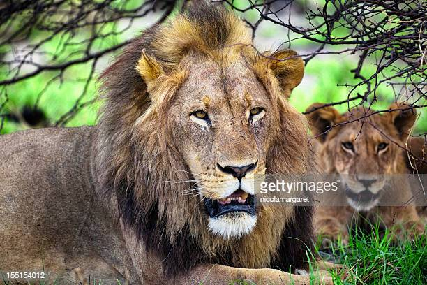 male lion and cub, botswana - moremi wildlife reserve stock photos and pictures