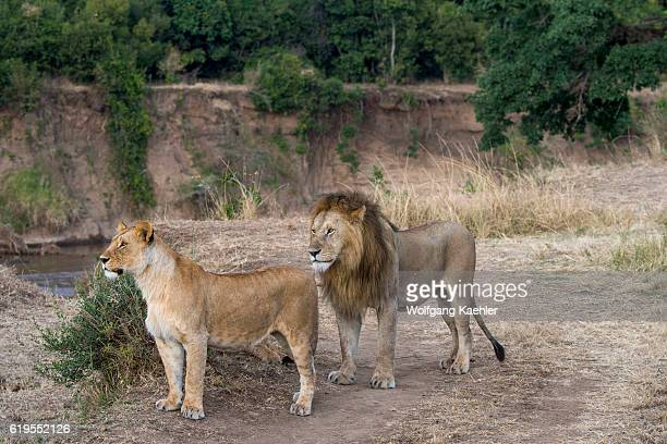 A male lion and lioness in the Masai Mara National Reserve in Kenya