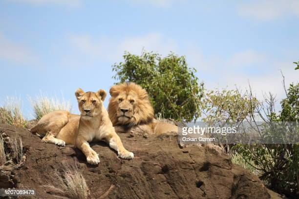 male lion and lioness in the wilderness of africa - male animal stock pictures, royalty-free photos & images