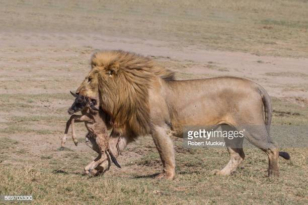 Male Lion and Prize