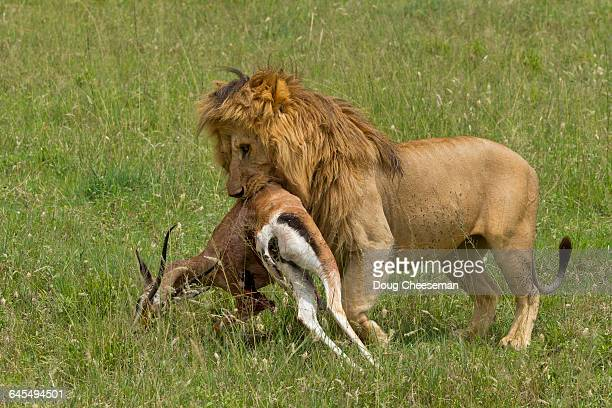 male lion carrying thompson's gazelle - lion attack stock pictures, royalty-free photos & images
