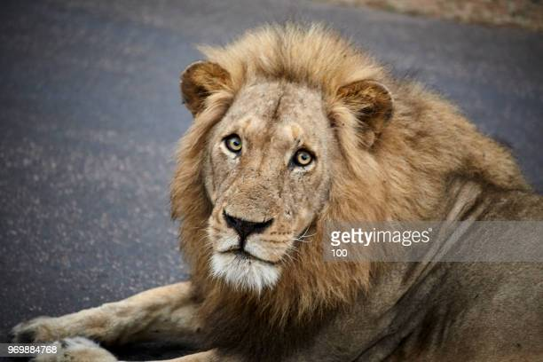 male lion close up - hairy bush stock pictures, royalty-free photos & images
