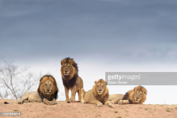 male lion coalition in the wilderness of africa - animals in the wild stock pictures, royalty-free photos & images
