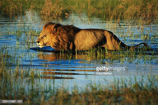male lion (panthera leo) crossing marshland, side view - botswana stock pictures, royalty-free photos & images