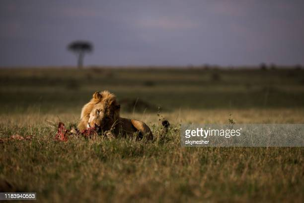 male lion eating in the wild. - safari animals stock photos and pictures