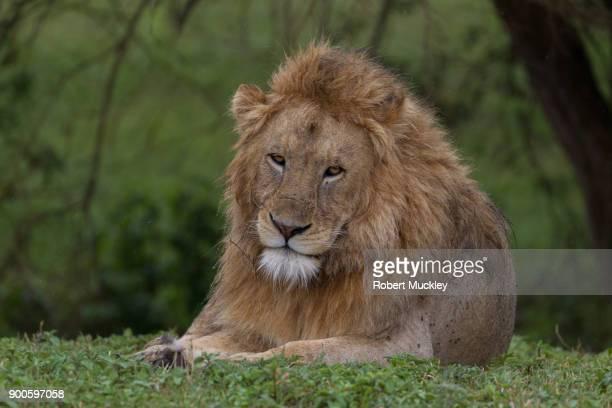 Male Lion Enjoying a Good Meal