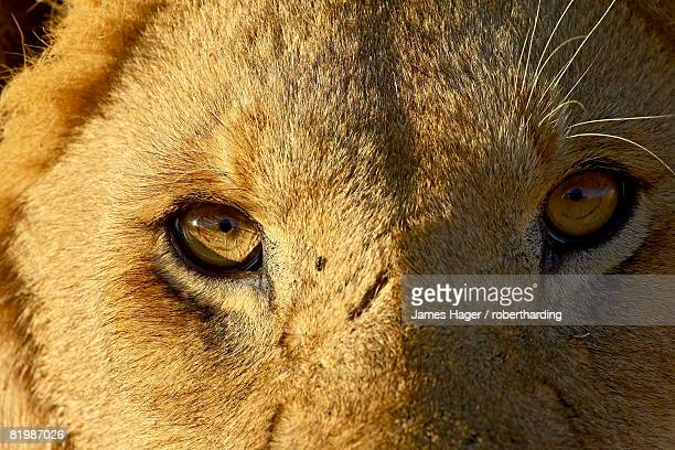 male lion (panthera leo) face, masai mara national reserve, kenya, east africa, africa - male animal stock pictures, royalty-free photos & images