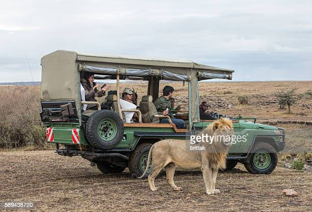 Male lion in front of safari vehicles with tourists.