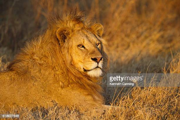 Male Lion in golden afternoon light, Ngorongoro Crater, Tanzania Africa