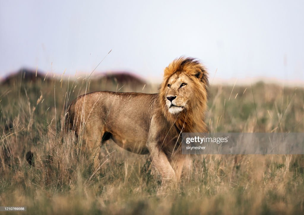 Male lion in Masai Mara national park. : Stock Photo
