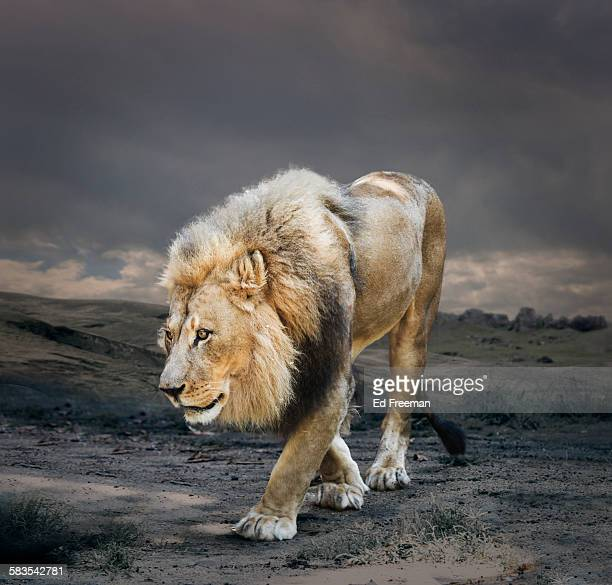 Male Lion in Naturalistic Setting