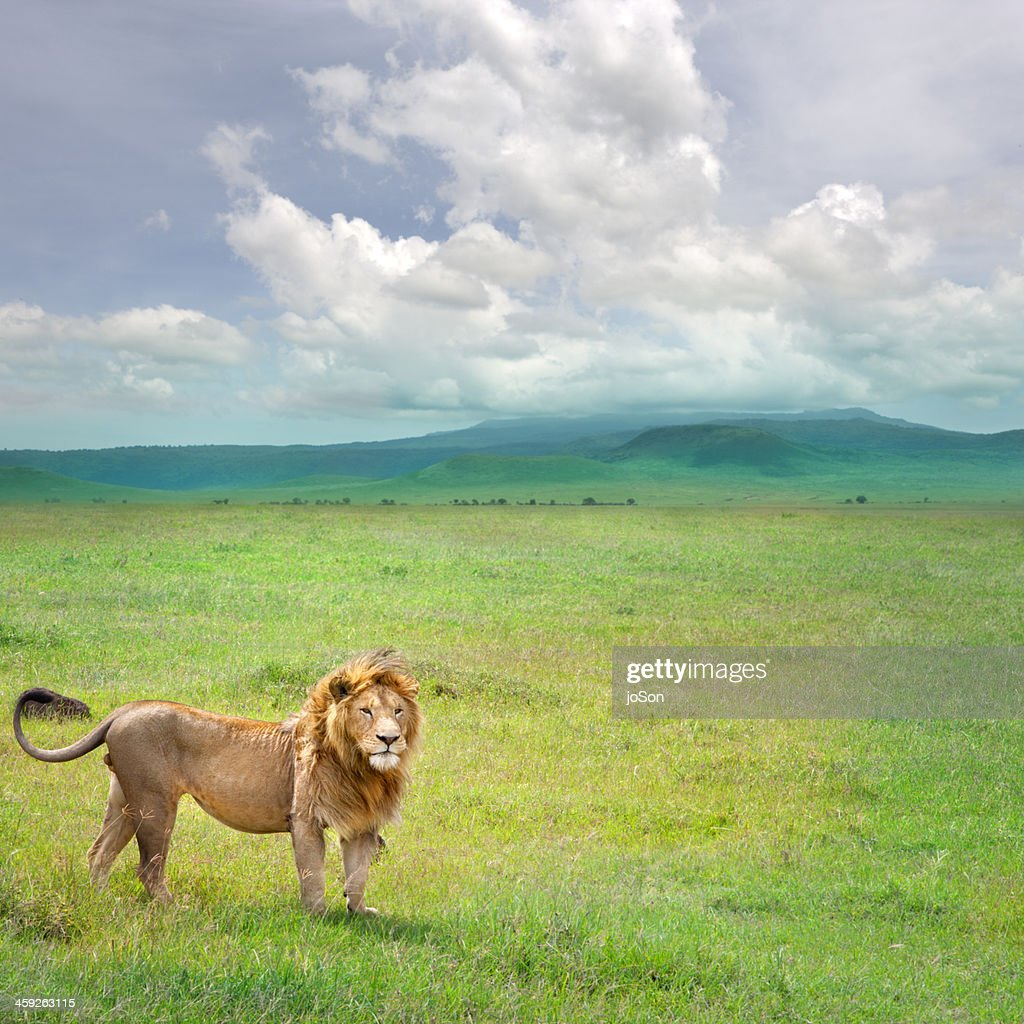 Male lion (Panthera leo) in Ngorongoro Crater : Stock Photo