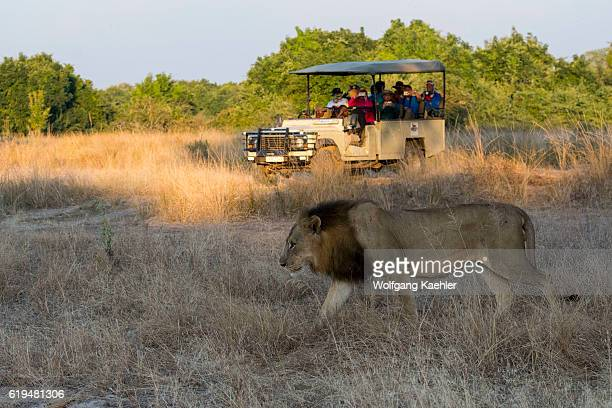 A male lion in South Luangwa National Park in eastern Zambia with tourists in background