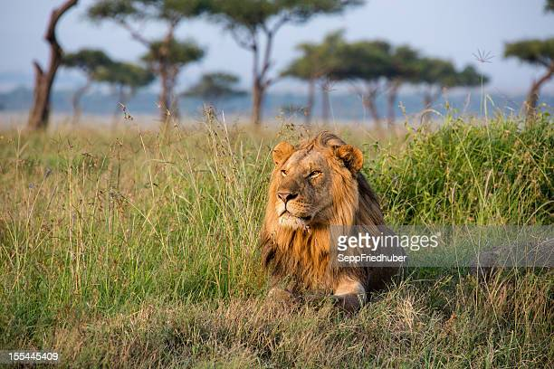 male lion in the masai mara kenia - lion stockfoto's en -beelden