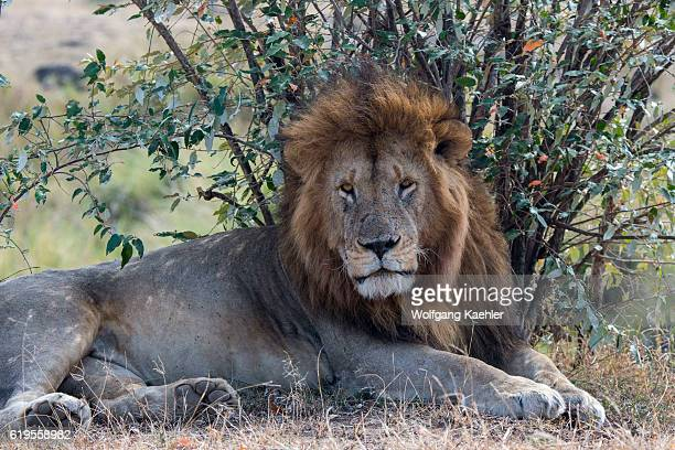 A male lion is laying in the grassland of the Masai Mara National Reserve in Kenya