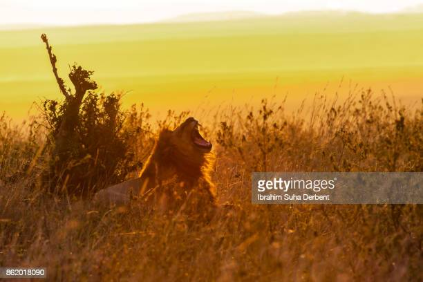 Male lion is roaring at sunset