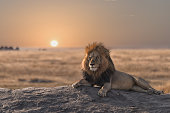 A male lion is sitting on the rock, watching his land.