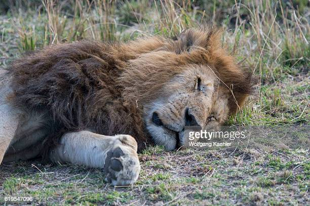 A male lion is sleeping in the grassland of the Masai Mara National Reserve in Kenya